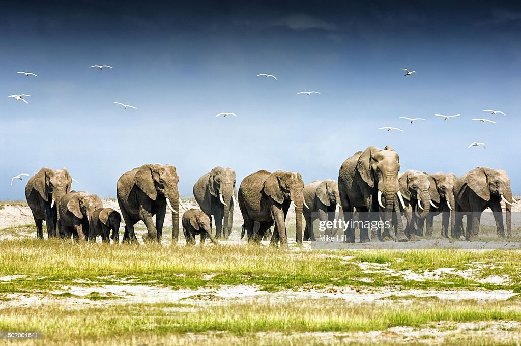 Herd of African Elephants, Amboseli National Park