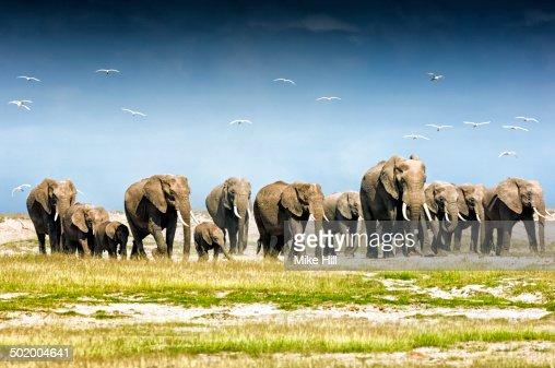 Herd of African Elephants, Amboseli National Park