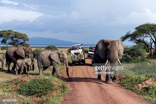 A herd of African Elephants and calf crossing a road between tourist safari vehicles.