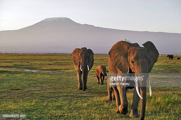Herd of African elephants (Loxodonta africana) crossing plain