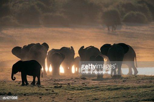 Herd of African Elephants (Loxodonta africana) : Stock Photo