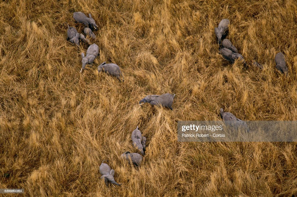 A herd of African elephants walks through the tall grasses of Virunga National Park. These elephants are part of a training experiment in the park.