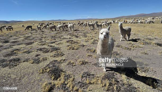 A herd of alpacas an Andean camelid priced for its wool pastures close to the village of Imata in Puno some 1500 km southeast of Lima on July 30 2010...