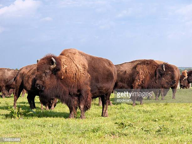 Herd of American buffalo bison
