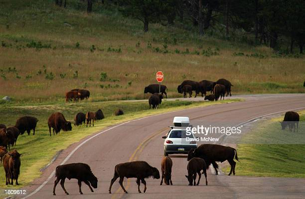 A herd of bison fearlessly cross a highway in Wind Cave National Park August 14 2001 in the southern Black Hills of South Dakota Millions of bison...
