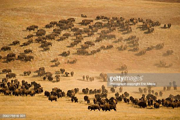 Herd of Bison (Bison bison) in field, elevated view