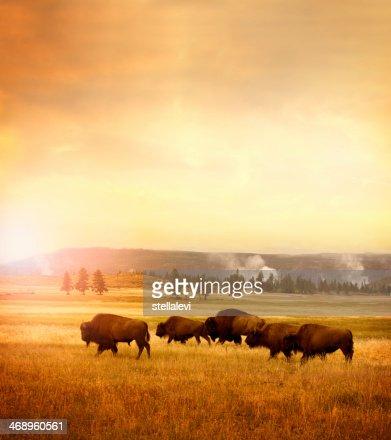 Mandria di bisons di Yellowstone