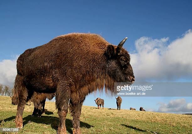 Herd of  Bisons