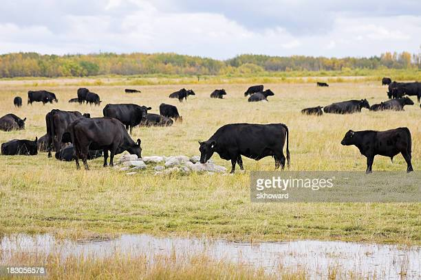 Herd of Black Angus Cattle in the Pasture