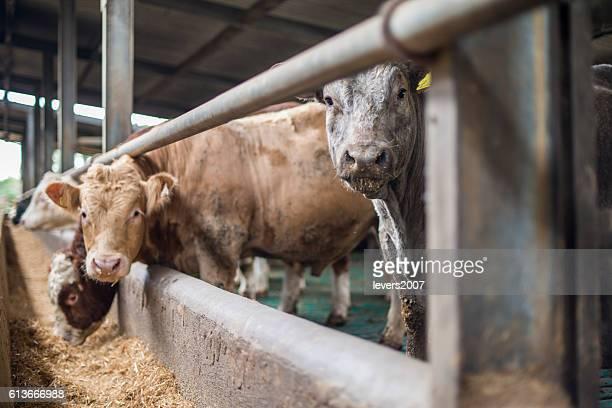 Herd of bulls in a pen
