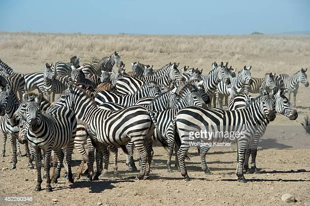 Herd of Burchell's zebras in Serengeti National Park Tanzania