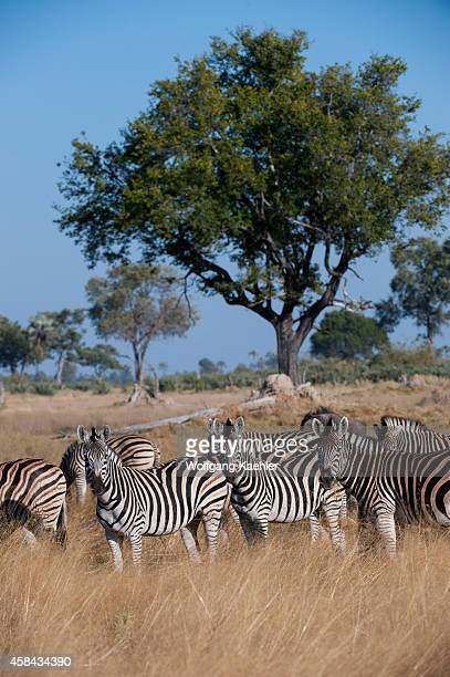 A herd of Burchell's zebras in the Chitabe area of the Okavango Delta in the northern part of Botswana