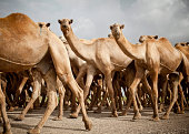 Herd of Camels Walking to the Market