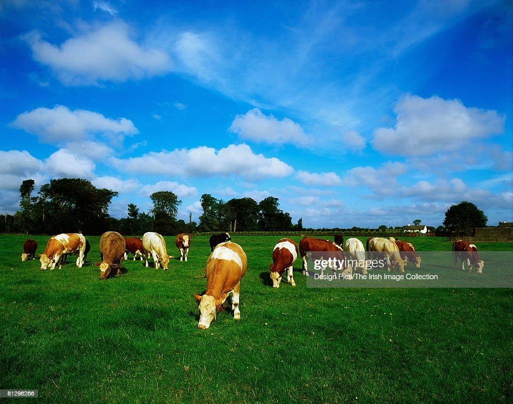 Herd of cattle grazing, Ireland : Stock Photo