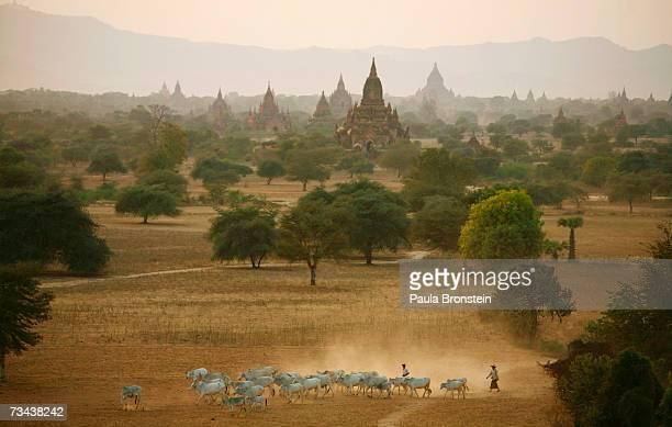 A herd of cattle heads home at sunset past the ancient temples February 276 2007 in Bagan Myanmar The 42 sq km plain of Old Bagan is dotted with some...