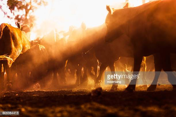 Herd of cattle in outback, Dulacca, Queensland, Australia