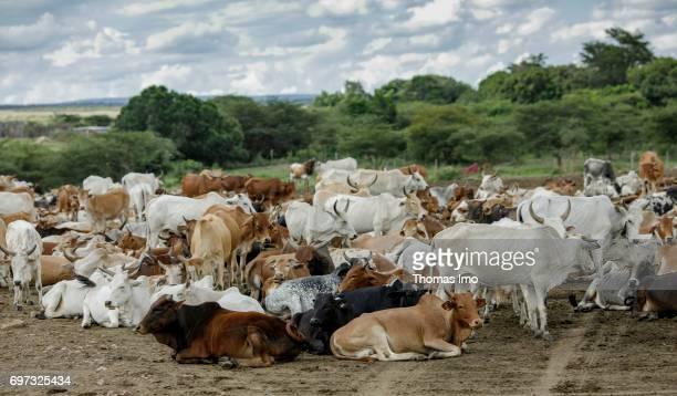 Herd of cattle on May 17 2017 in Talek Kenya