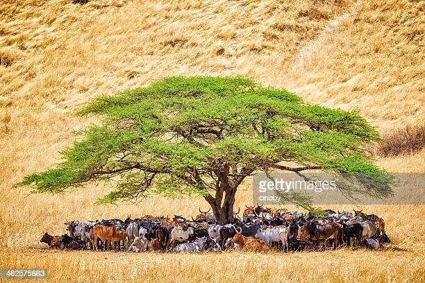 Herd of cattle under acacia tree in a tanzania