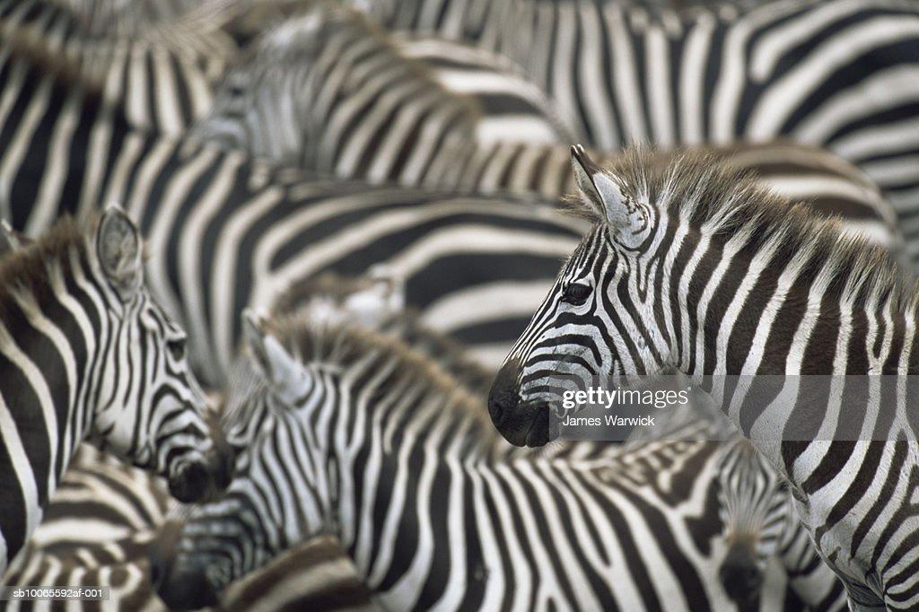 Herd of common zebra (Equus quagga) : Stock Photo
