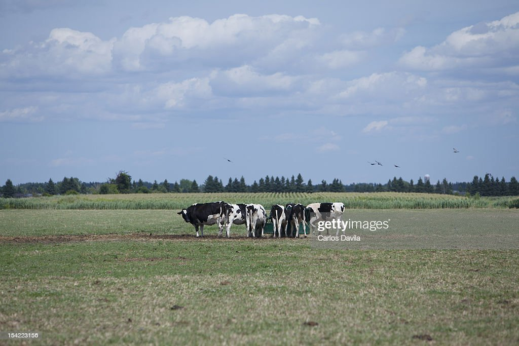 A herd of cows feeding : Stock Photo