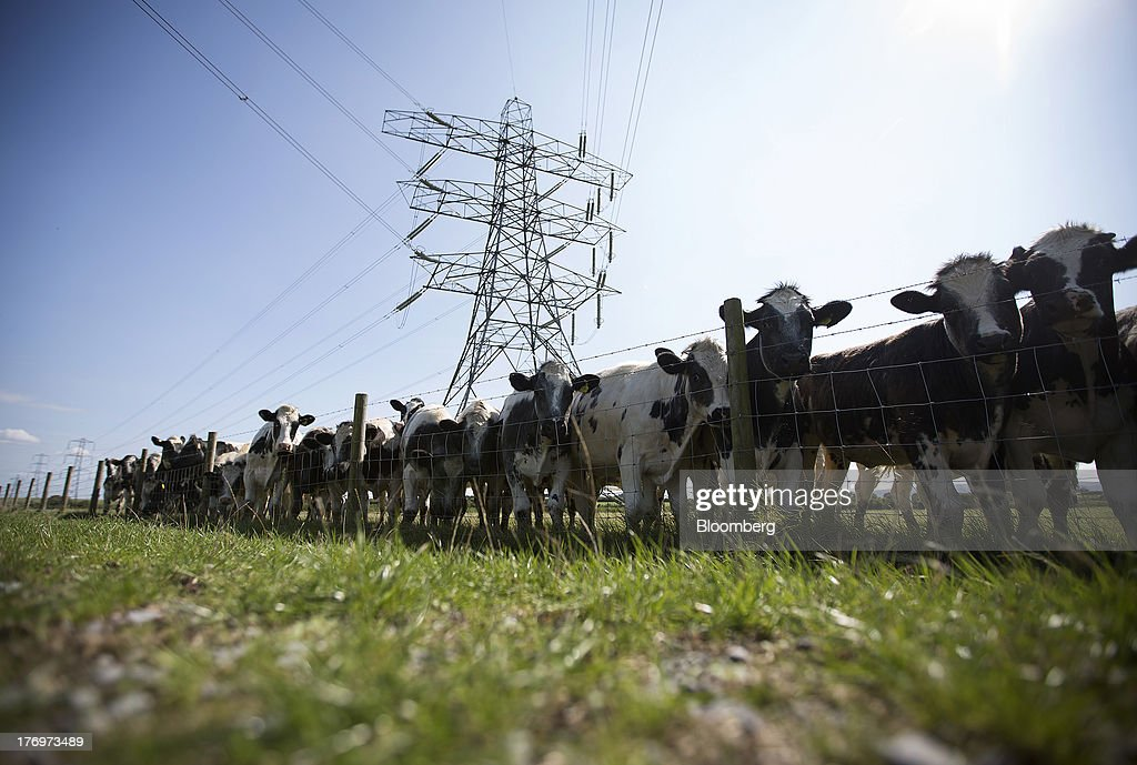 A herd of cows gather by a fence beneath an electricity pylon supporting power transmission lines leading away from Electricite de France SA's (EDF) Hinkley Point nuclear power stations near Bridgwater, U.K., on Monday, Aug. 19, 2013. EDF's plans to build two Areva SA reactors at Hinkley Point in southwest England hinge on the price it will get from the U.K. government for the power it would produce. Photographer: Simon Dawson/Bloomberg via Getty Images