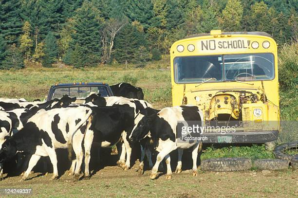 A herd of cows grazing close to an out of service schoolbus