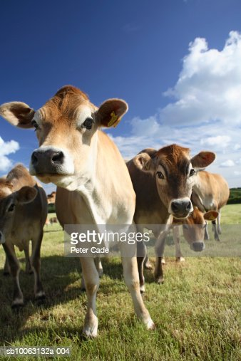 Herd of cows in field : Stock Photo