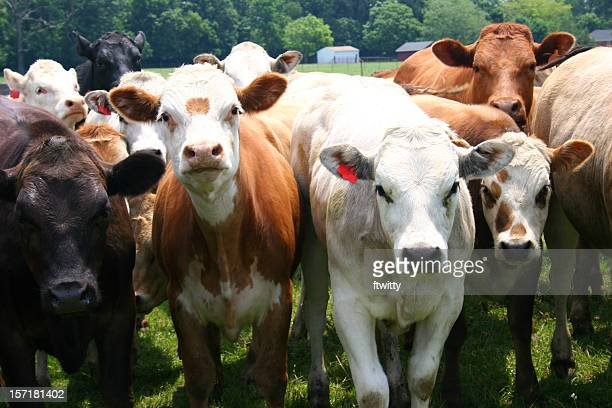 Herd of cows looking straight at camera