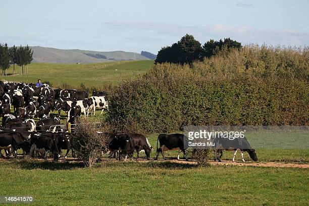 A herd of cows make their way down the race to the milking shed at a dairy farm on April 18 2012 in Morrinsville New Zealand Raw milk sales are...