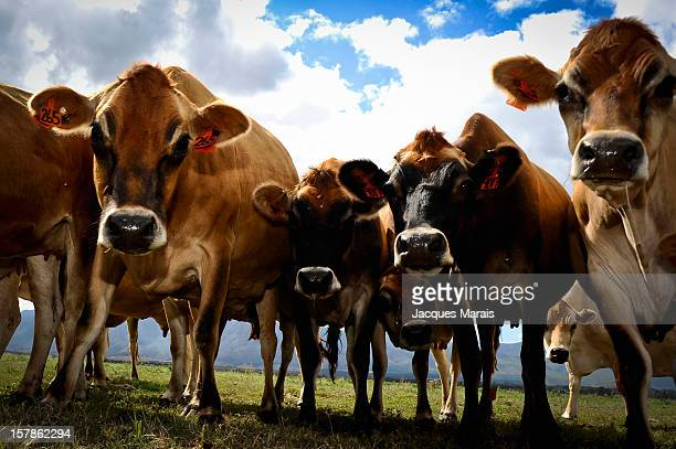 Herd of cows, Round the Bend Camp, Swellendam, Overberg, Western Cape