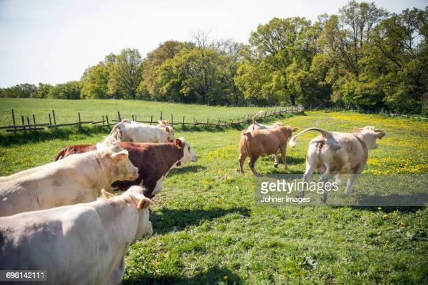 Herd of cows running on meadow