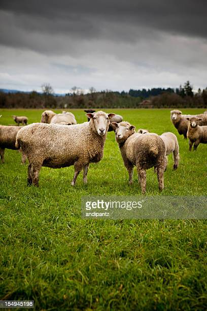 Herd of curious sheep looking at the camera