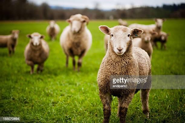 Troupeau de moutons curieux regardant à la caméra