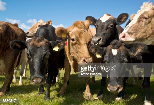 Herd of dairy cows, Eastern Iceland : Stock Photo