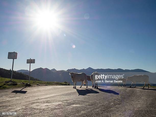 Herd of dairy cows invading a mountain road in the Pyrenees in France
