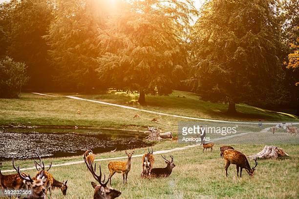 Herd of deer on grassy field