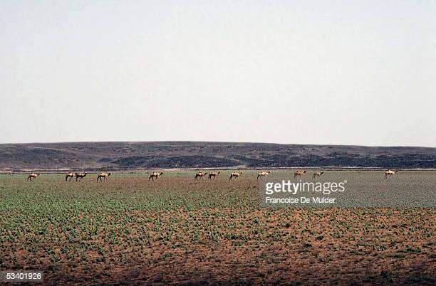 Herd of dromedaries in the Ethiopian savanna On 1990 FDM21513