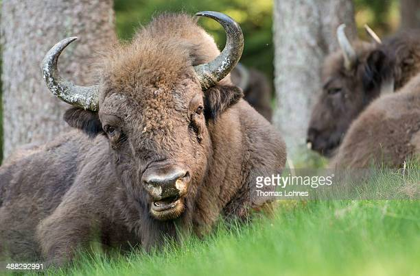 A herd of eight European bison chew the cudgraze in the Rothaargebirge mountain range on May 5 2014 near Bad Berleburg Germany The herd is a project...