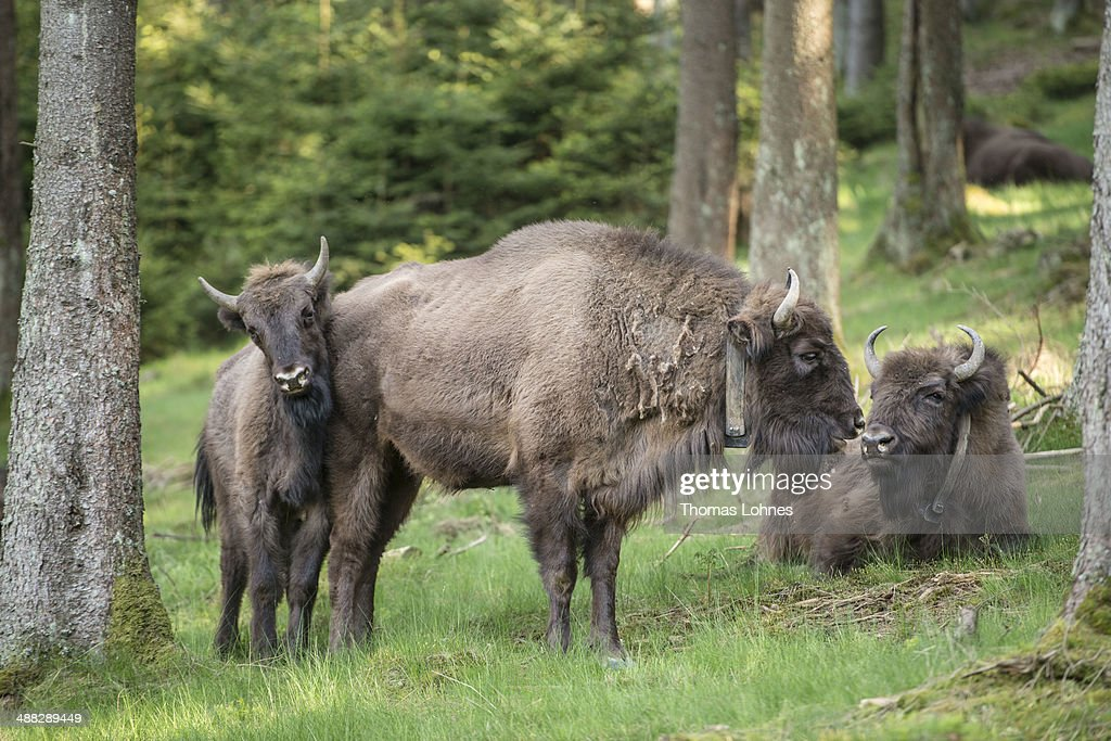 A herd of eight European bison graze in the Rothaargebirge mountain range on May 5, 2014 near Bad Berleburg, Germany. The herd is a project of Wisent Welt Wittgenstein, a government-funded initiative which last year released the herd in an effort to restock the bison in the wild. European bison were once plentiful across Europe and Russia, though their numbers were decimated to near extinction by hunting and habitat encroachment.