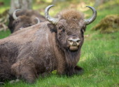 A herd of eight European bison graze in the Rothaargebirge mountain range on May 5 2014 near Bad Berleburg Germany The herd is a project of Wisent...