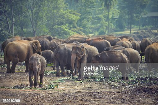 Herd of elephants at mealtimes : Stock Photo
