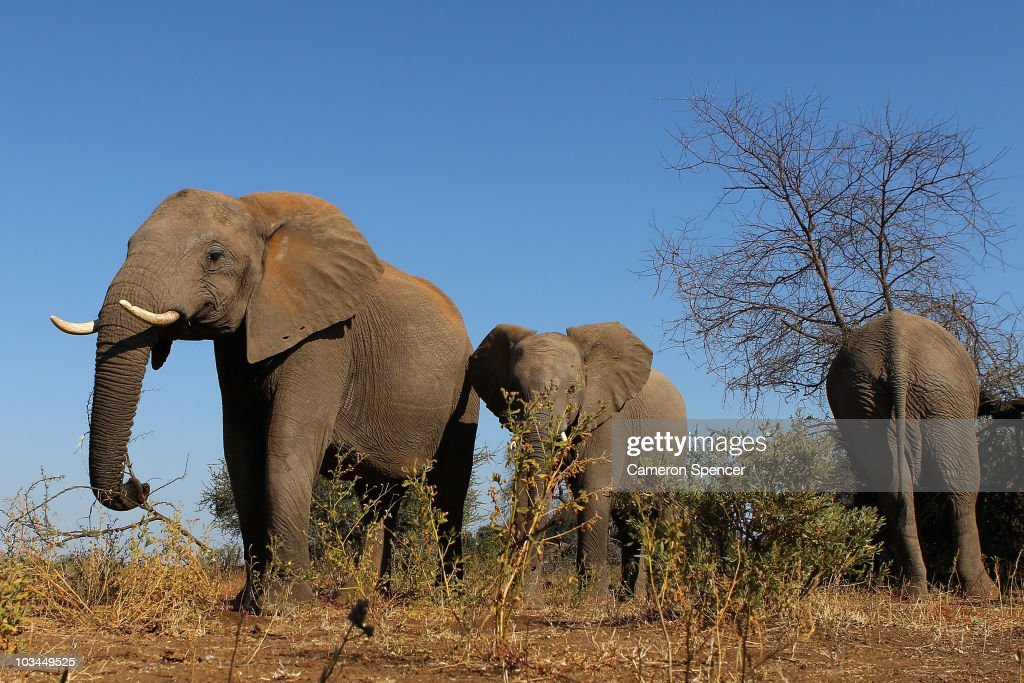 A herd of elephants at the Mashatu game reserve on July 26, 2010 in Mapungubwe, Botswana. Mashatu is a 46,000 hectare reserve located in Eastern Botswana where the Shashe river and Limpopo river meet.