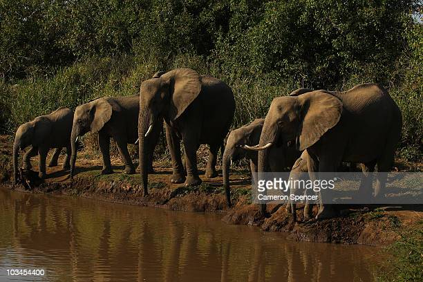 A herd of elephants drink from a river at the Mashatu game reserve on July 27 2010 in Mapungubwe Botswana Mashatu is a 46000 hectare reserve located...