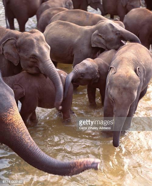 Herd of Elephants in Water