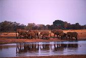 Herd of elephants leaving water hole