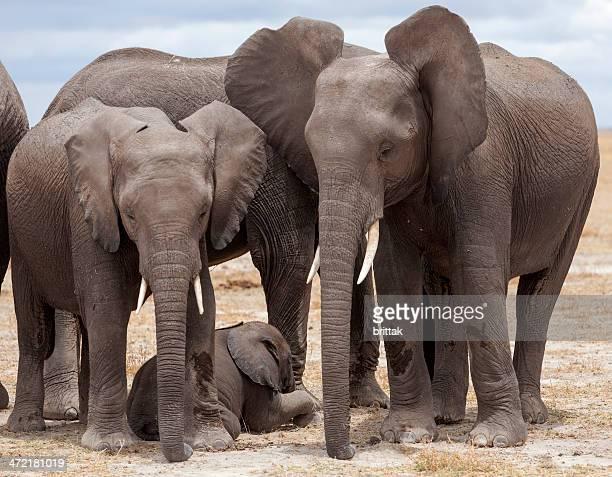 Herde von Elefanten Schutz Schlafen baby in der Mittagssonne bietet.