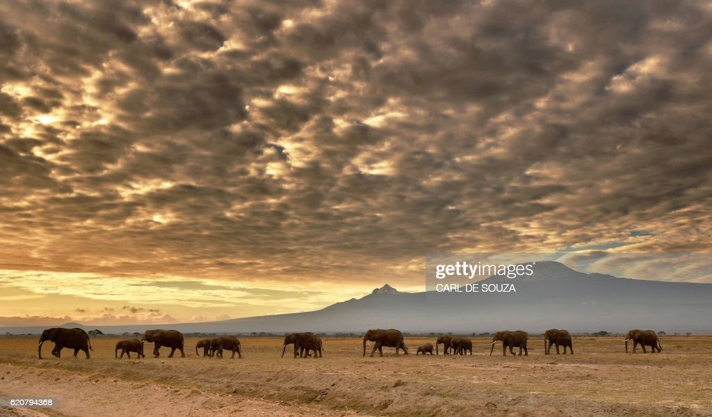 TOPSHOT - A herd of elephants walk in Amboseli National Park on November 3, 2016. / AFP / CARL
