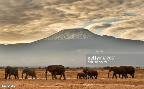 TOPSHOT A herd of elephants walk in front of Mount Kilimanjaro in Amboseli National Park on November 3 2016 / AFP / CARL DE SOUZA