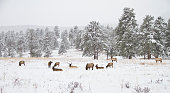 Herd of elk in a mountain meadow in winter in the Rocky Mountains, Colorado
