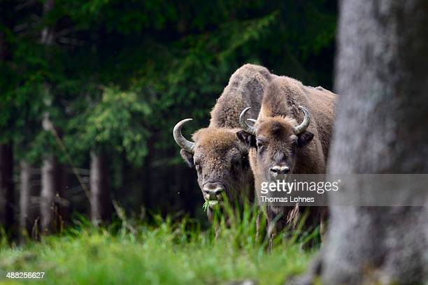 A herd of European bison roams through a forest in the Rothaargebirge mountain range on May 5 2014 near Bad Berleburg Germany The herd is a project...